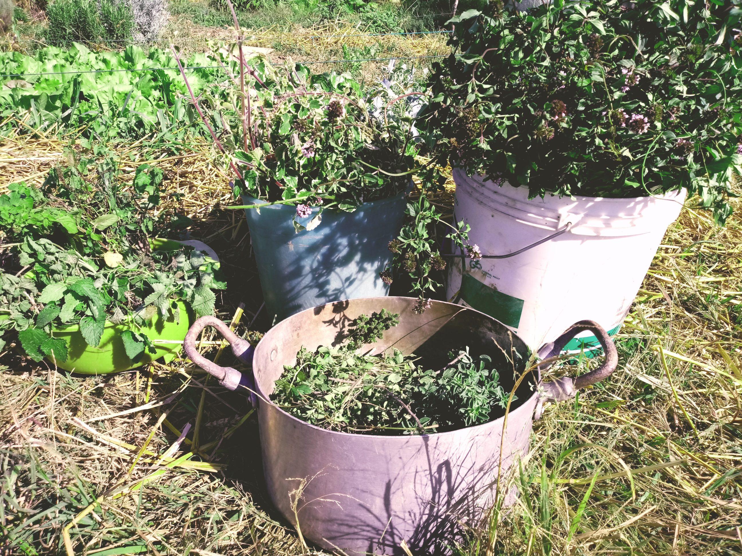 erbe aromatiche bio raccolta