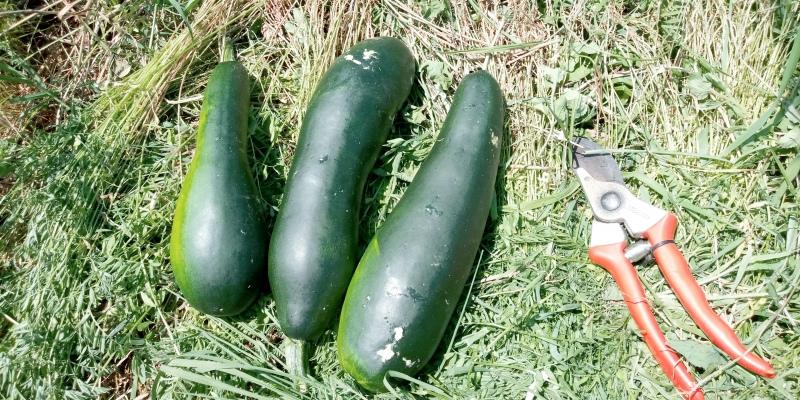 1kg di zucchine bio come primo raccolto