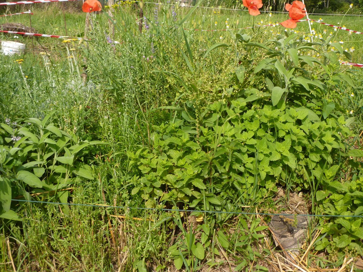 erbe aromatiche orto biologico