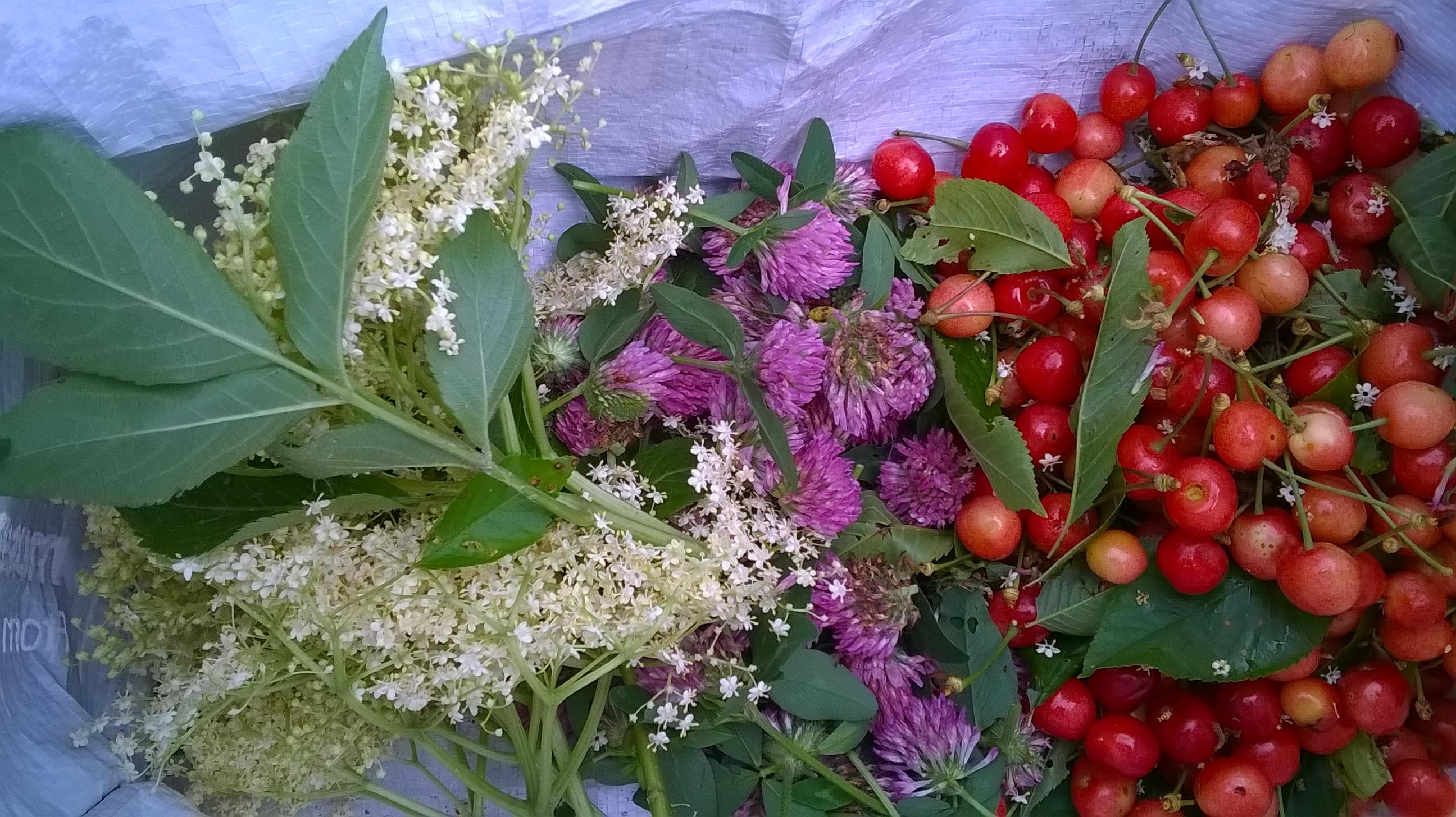 raccolto piante spontanee ciliegio , sambuco. trifoglio