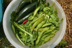 zucchine, insalate, legumi, peperoncino raccolta