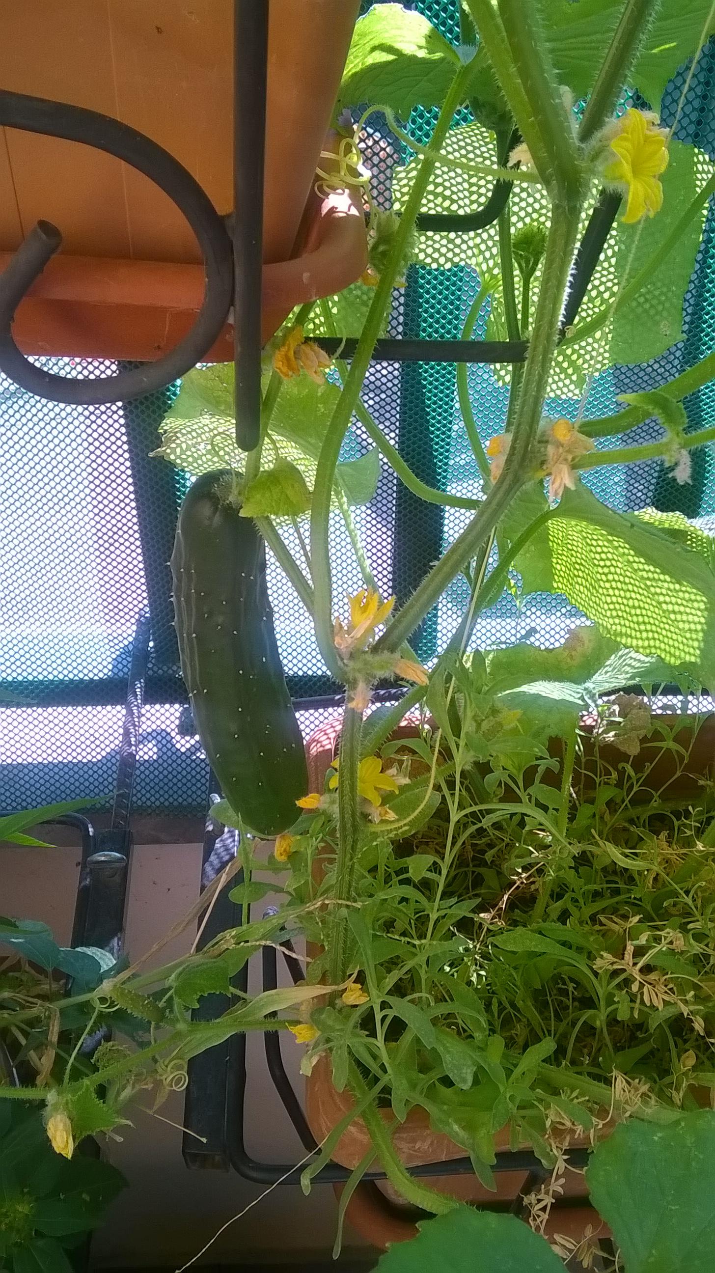 Cetriolo bio coltivato sul balcone