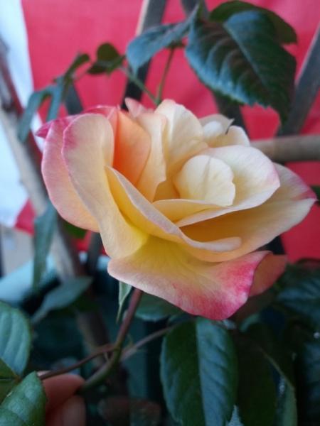 rosa bio sul balcone
