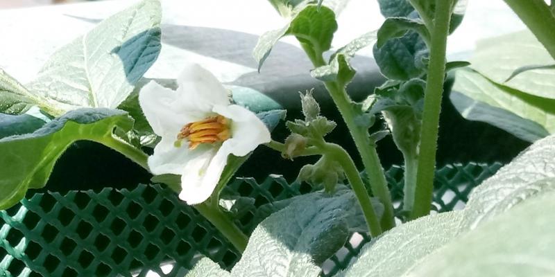fiore di patata bio da balcone