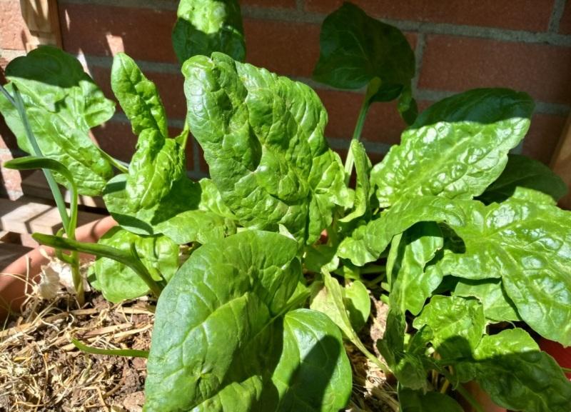 Spinaci-bio-coltivati-in-balcone