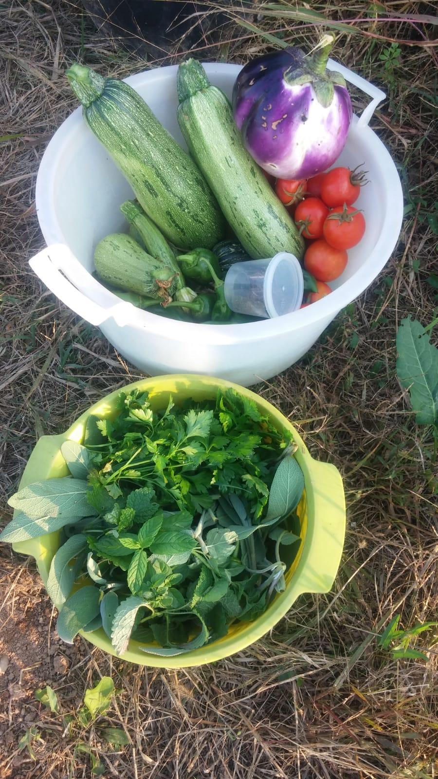 Raccolto semi prezzemolo zucchine