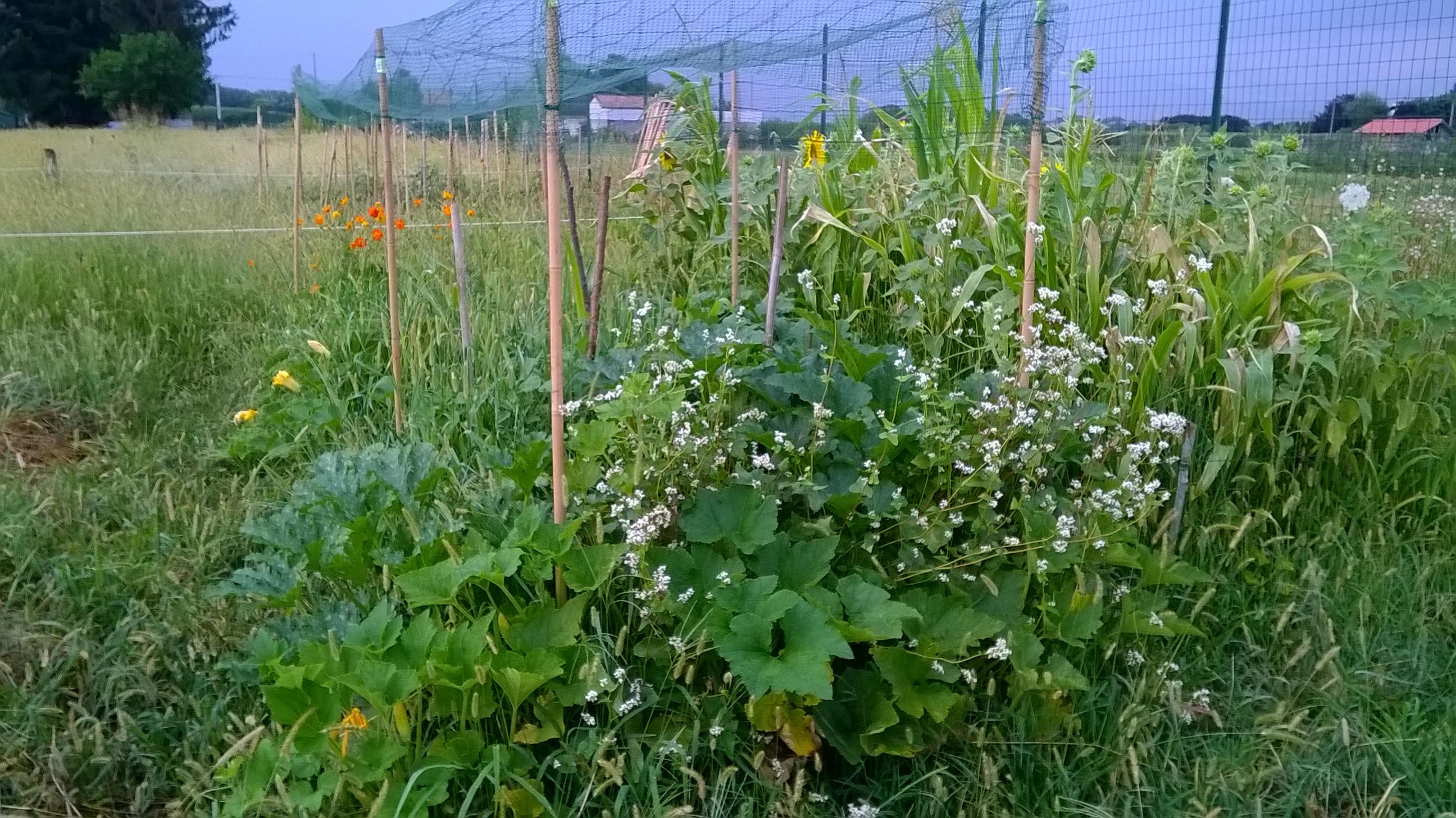 Grano Saraceno Cosmea Sulfurea Mais Zucca Zucchine  Consociazione